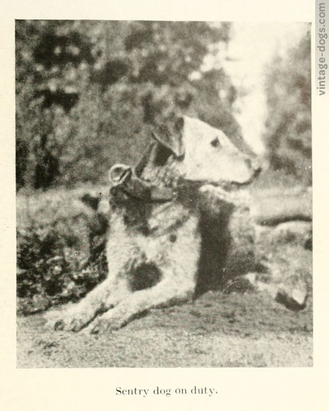 vintage-dogs.com_britishwardogs_23.jpg