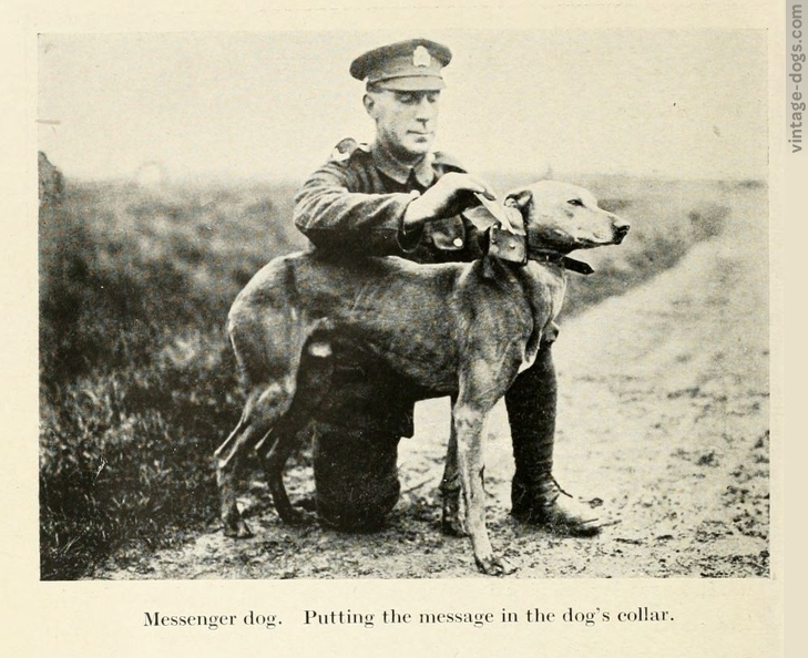 vintage-dogs.com_britishwardogs_11.jpg