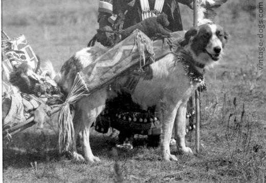 Собака, запряженная в волокуши