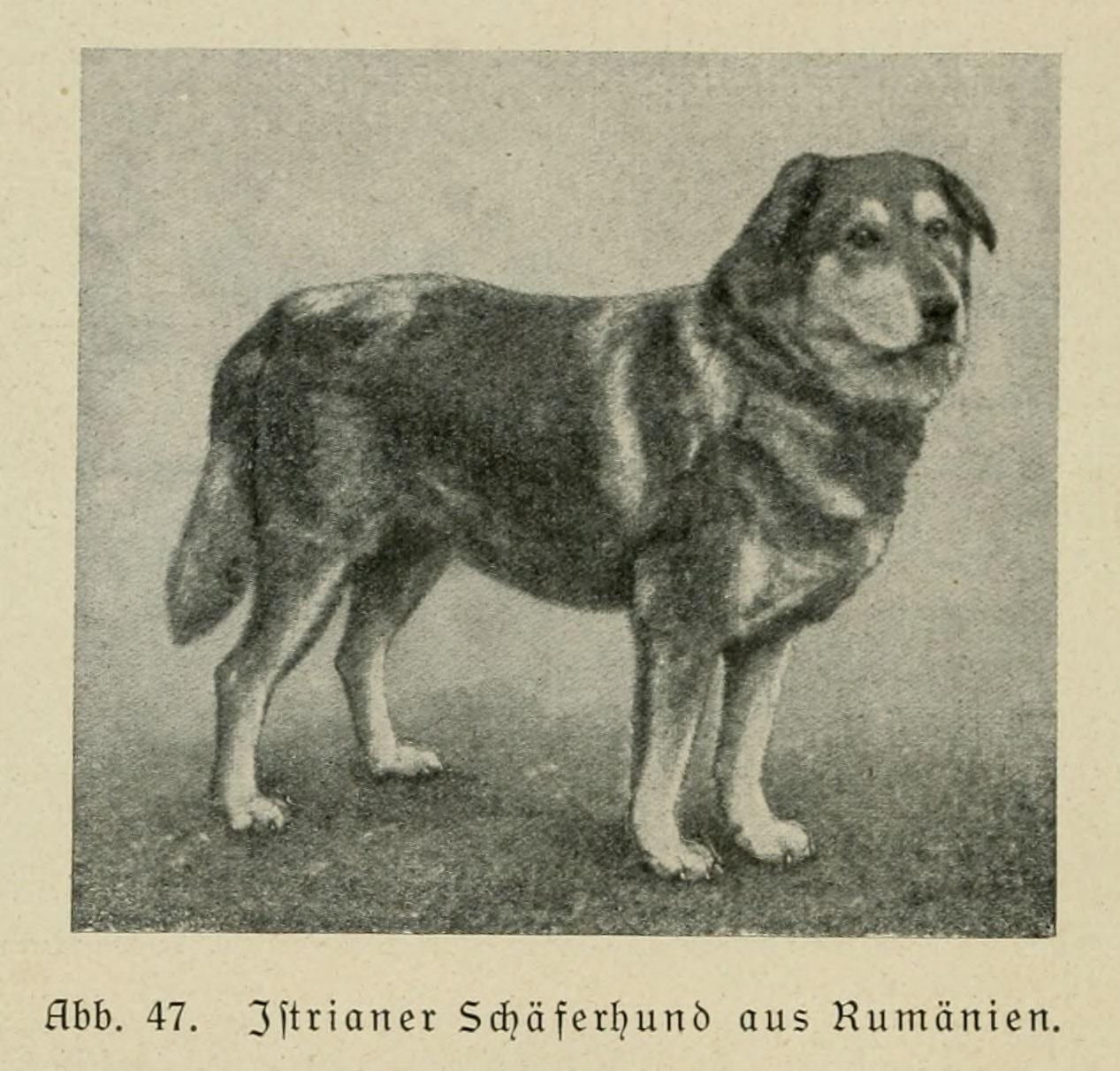 характер породы собаки крашская овчарка